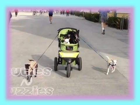 Chihuahuas Pull a Stroller