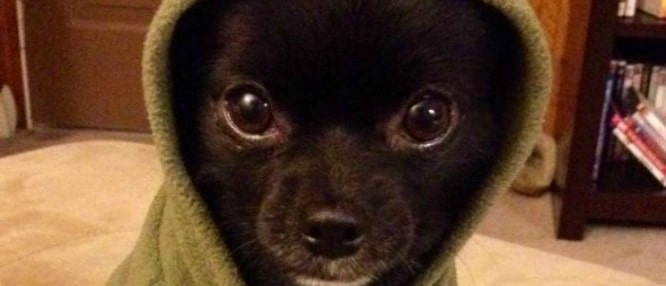 Black Chihuahuas