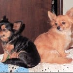 Alma's Chihuahua Story