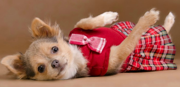 Chihuahua in red plaid dress