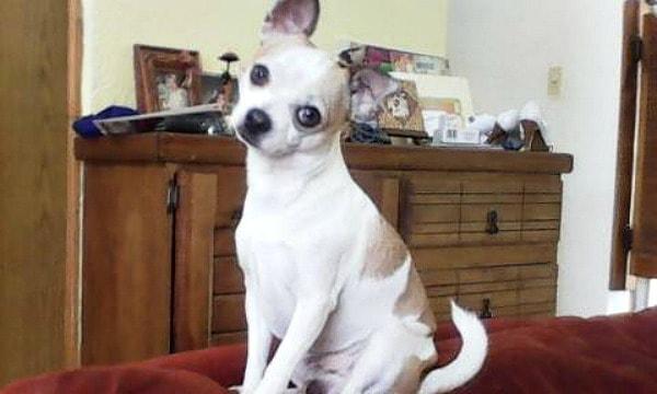 Tizoc the Chihuahua