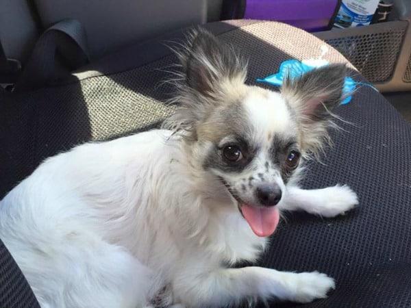 Mia the Chihuahua