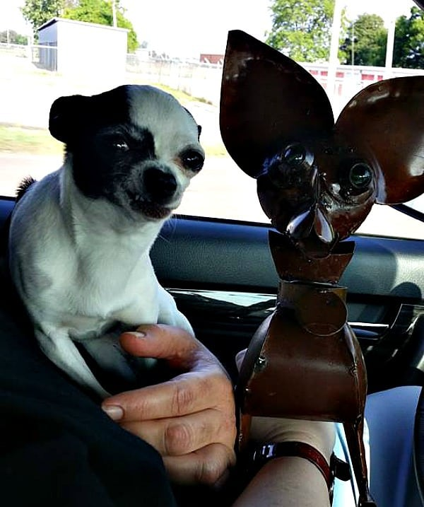 Cheezin the Chihuahua