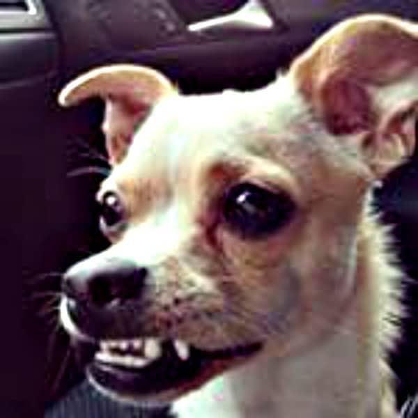 smiling Chihuahua