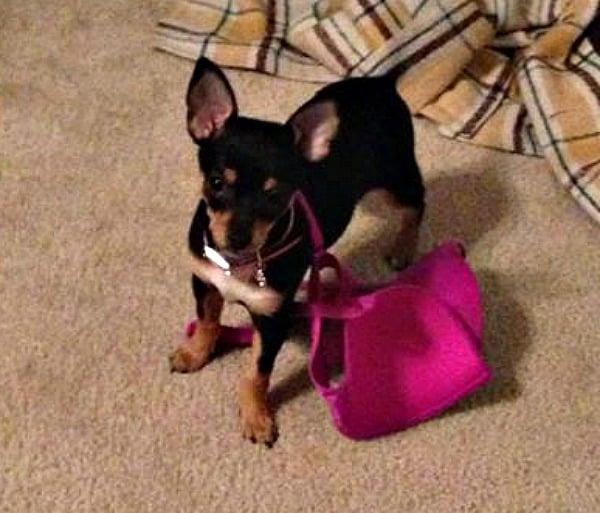 Baby Kiki the Chihuahua