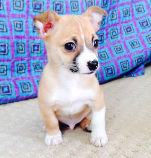 Jax the Chihuahua puppy