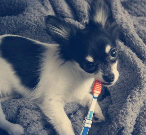 Chihuahua brush teeth