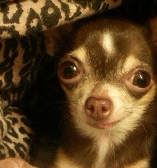 Rita the Chihuahua