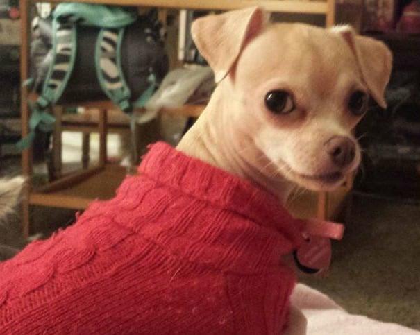 JaiLynn Joy the Chihuahua