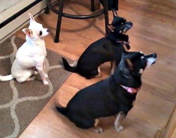 Ginger, Sugar and Cinnamon the Chihuahuas