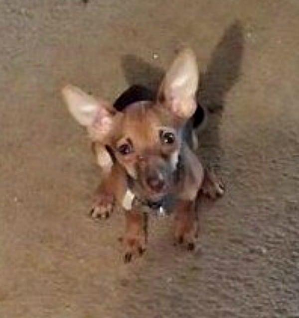 Titan the Chihuahua