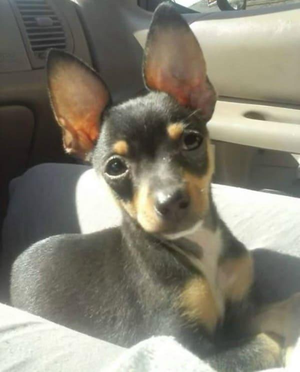 Lokie the Chihuahua