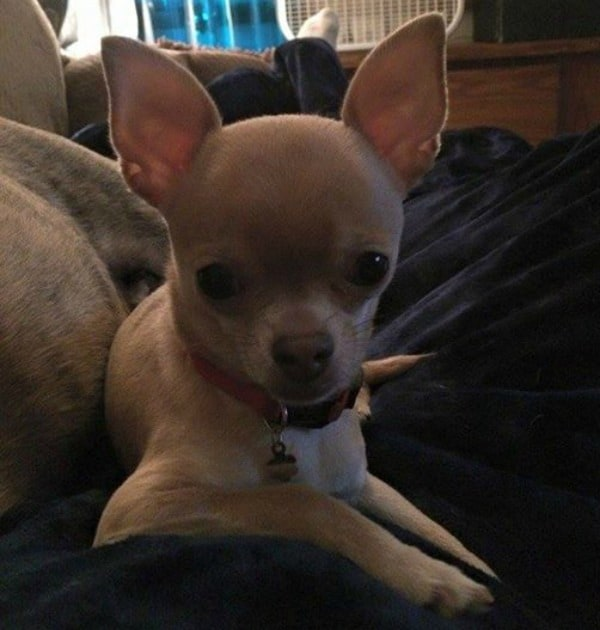 Ariel the Chihuahua