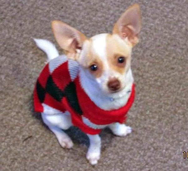 Panchito the Chihuahua