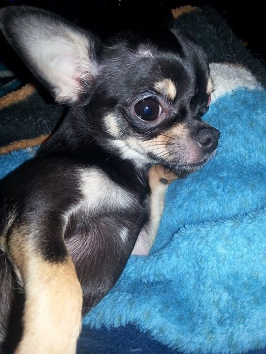 Apple the Chihuahua