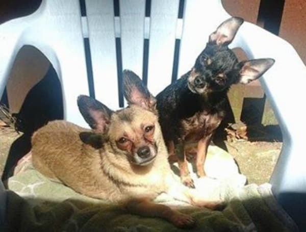 Tex and Kenny the Chihuahuas