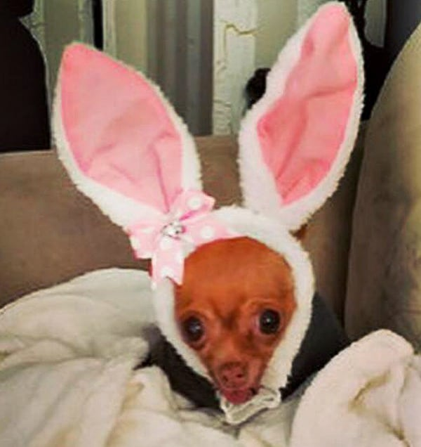 Dixie the Chihuahua in bunny costume