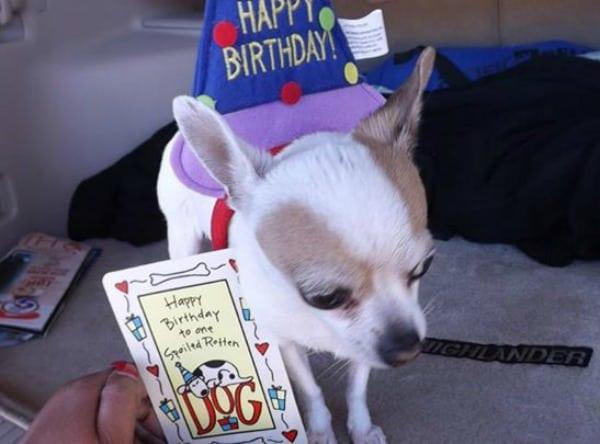 Tco the Chihuahua
