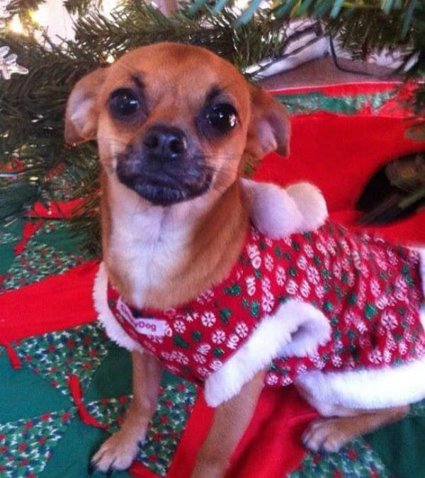 KDee the Chihuahua
