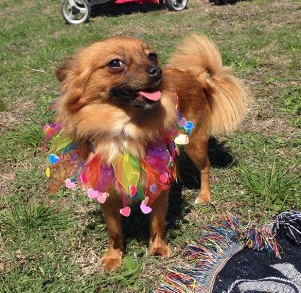 Roxie the Chihuahua
