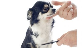chihuahua being groomed