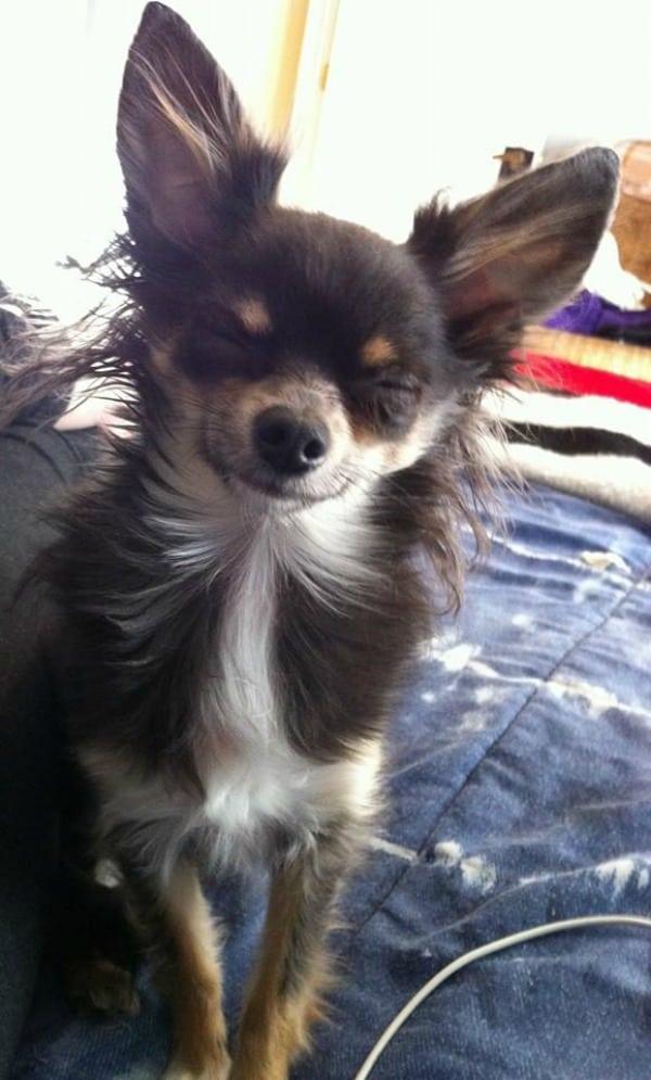 Rogue the Chihuahua