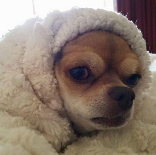 Precious the Chihuahua