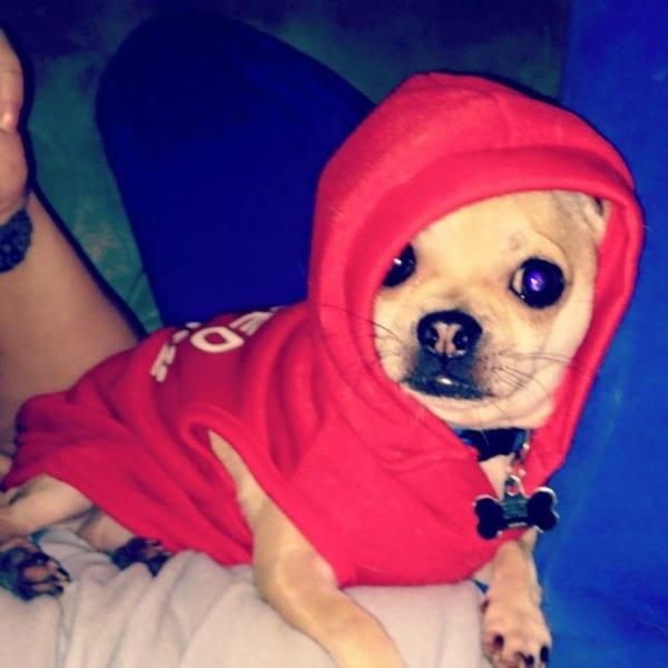 Echo Chilala the Chihuahua