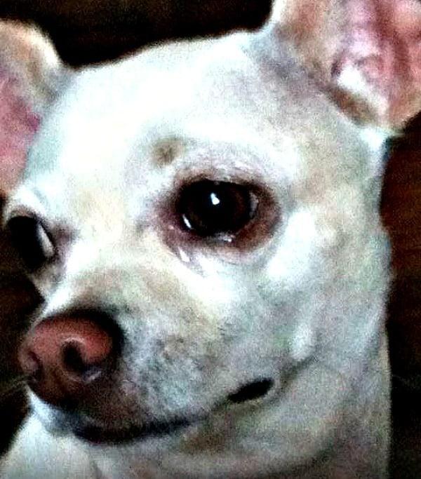 Max the Chihuahua