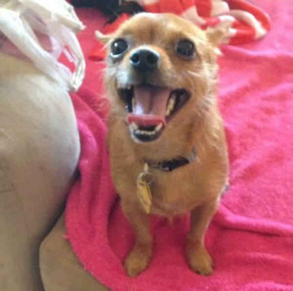 Lily the Chihuahua