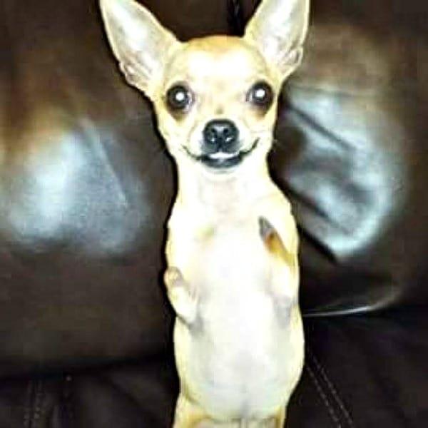 Skippy the 2 legged Chihuahua