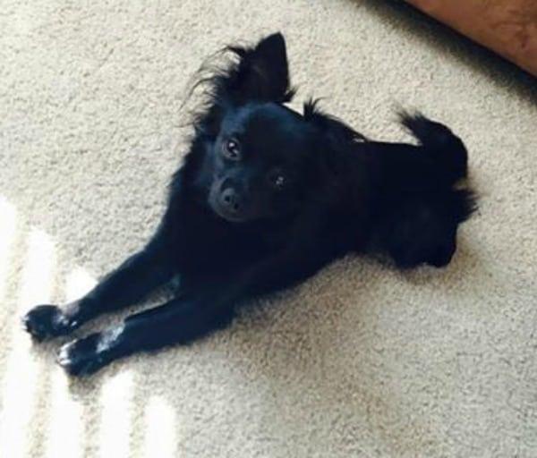 Rico the Chihuahua