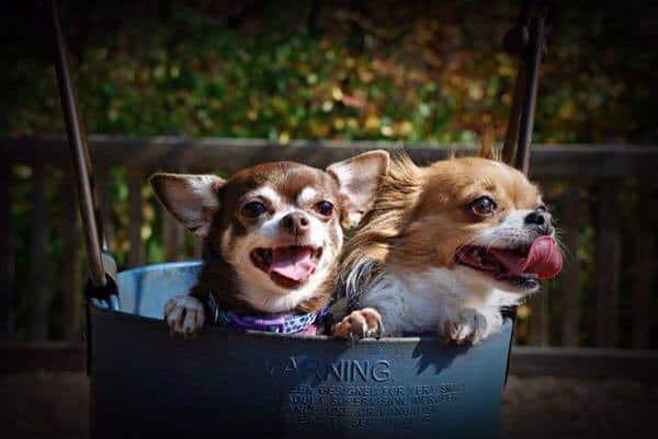 smiling Chihuahuas