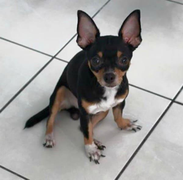 Georgie the Chihuahua
