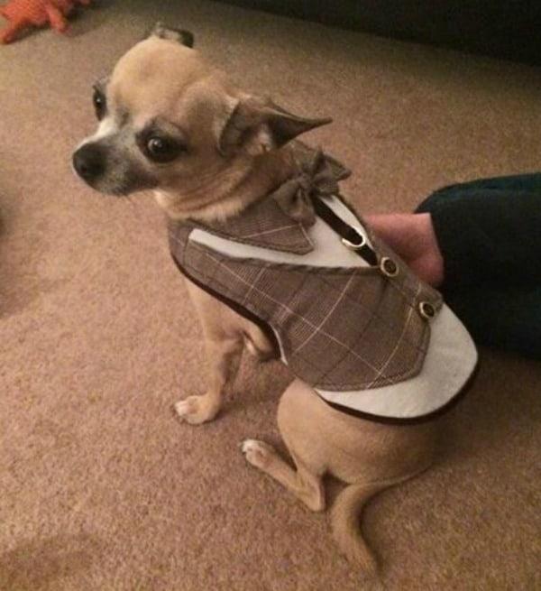 Ernie the Chihuahua