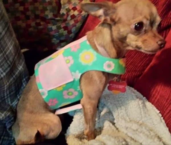 Ms.RayRay the Chihuahua