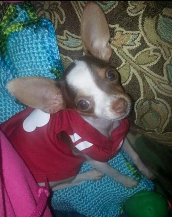 Tink the Chihuahua