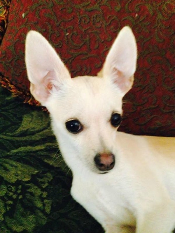Thimble the Chihuahua