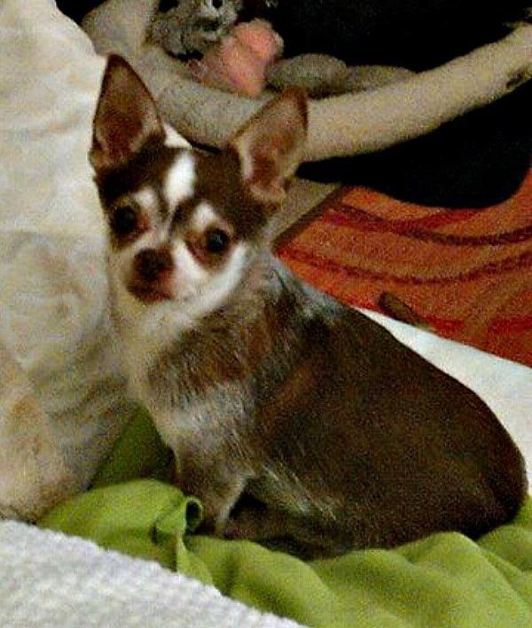 Cah-Cha the Chihuahua