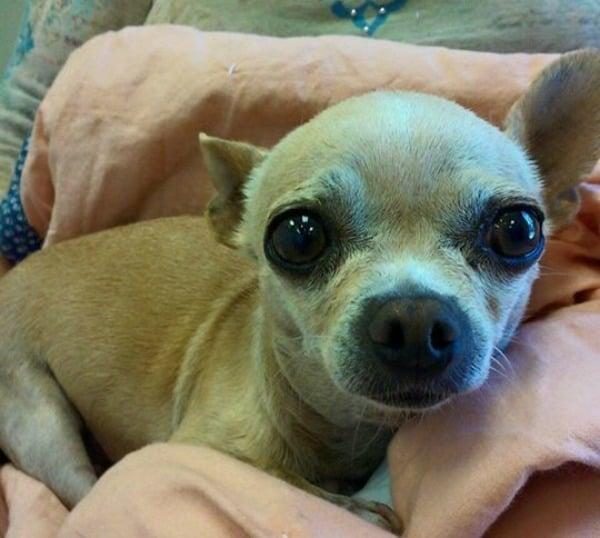 My Dog the Chihuahua