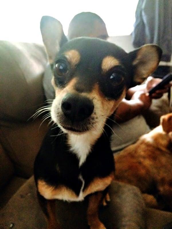 Choncho Miguel the Chihuahua