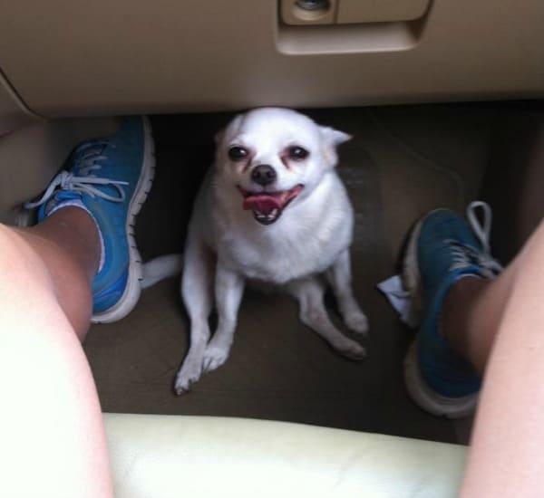 smiley Chihuahua