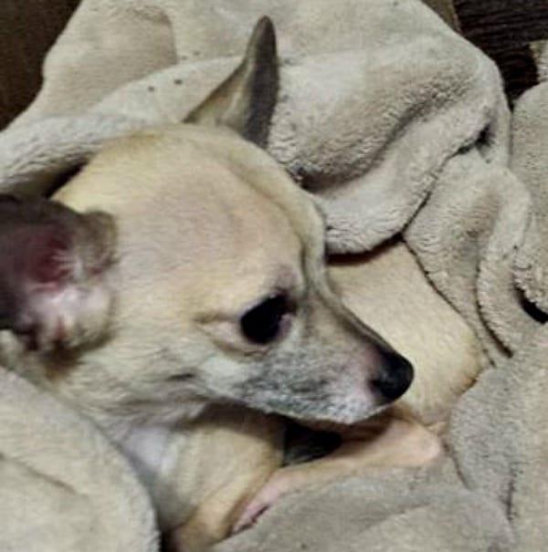 Katie the Chihuahua