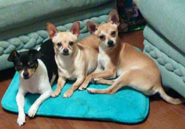 Buttercup, Jada, and Tobi the Chihuahuas