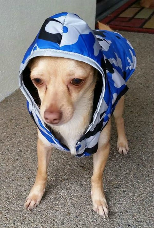 Teddy Redford the Chihuahua