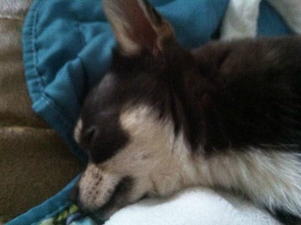 Nicco the Chihuahua