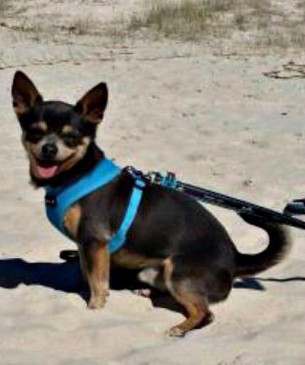 Presley the Chihuahua