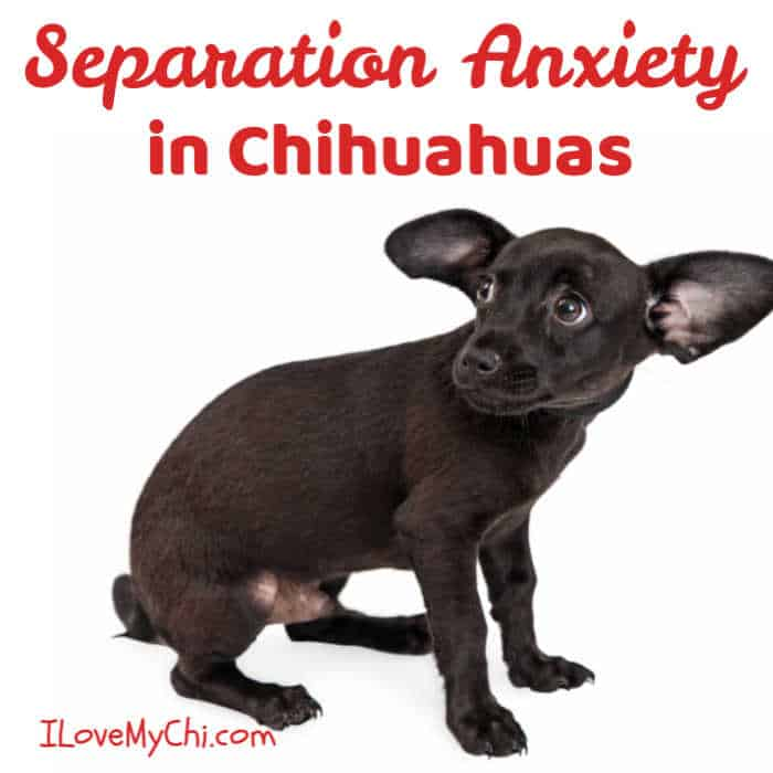 anxious black chihuahua puppy