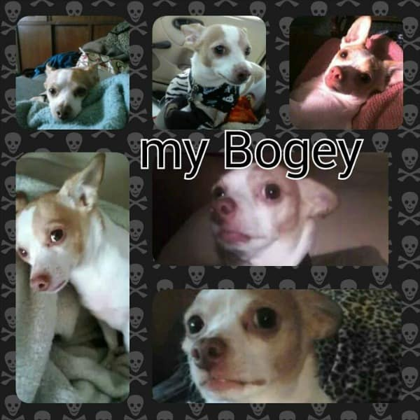 Bogey the Chihuahua