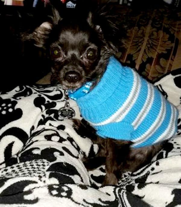 Little one the Chihuahua